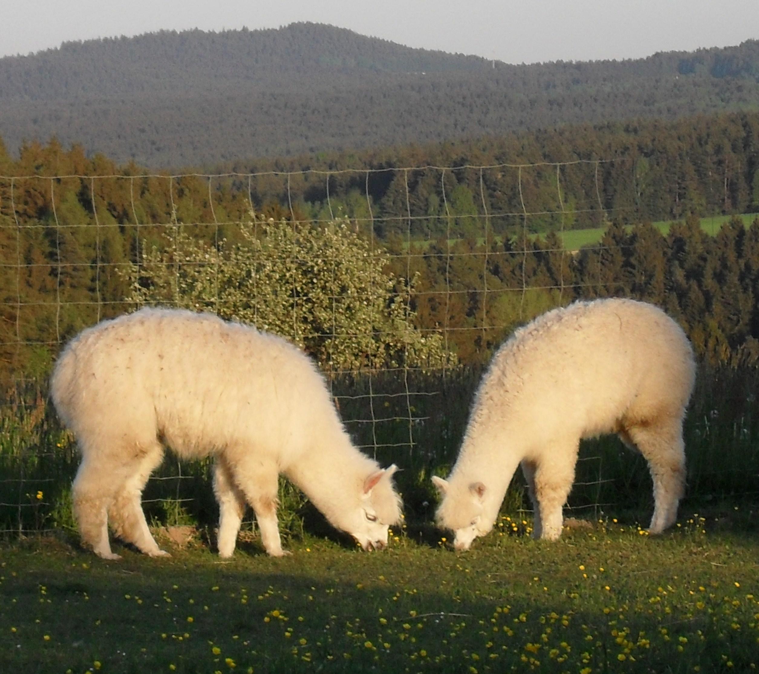 Alpaka oberpfalz